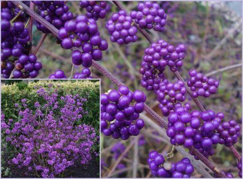 Vrtnarstvo Breskvar - Callicarpa Profusion