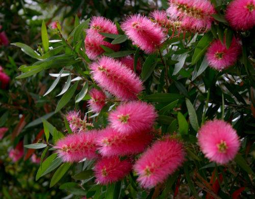 Callistemon viminalis Hot Pink KKHO1
