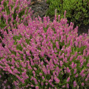 Calluna vulgaris- Vrtnarstvo Breskvar