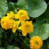 Vrtnarstvo Breskvar - Caltha palustris multiplex