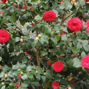 Vrtnarstvo Breskvar - Camellia