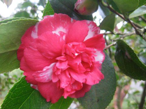 Vrtnarstvo Breskvar - Camellia japonica Daikagura