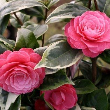 Vrtnarstvo Breskvar - Camellia japonica Kerguelen