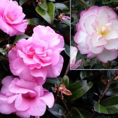 Vrtnarstvo Breskvar - Camellia sasanqua