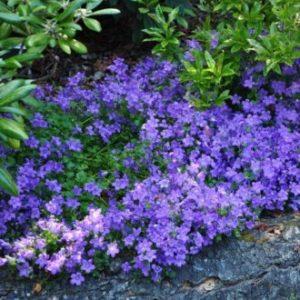 Vrtnarstvo Breskvar - Campanula carpatica