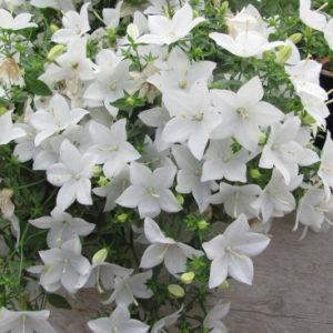Vrtnarstvo Breskvar - Campanula Isophylla Alba