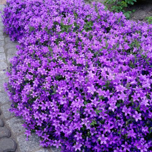 Vrtnarstvo Breskvar - Campanula portenschlagiana