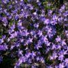 Vrtnarstvo Breskvar - Campanula poscharskyana Templiner Teppich