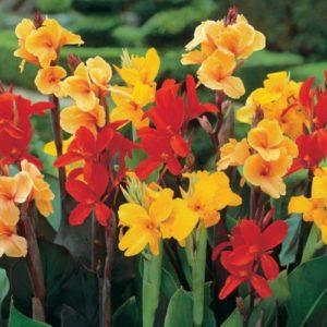 Vrtnarstvo Breskvar - Canna indica