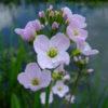 Vrtnarstvo Breskvar - Cardamine pratensis