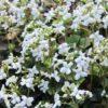 Vrtnarstvo Breskvar - Cardamine trifolia