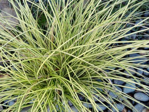 Vrtnarstvo Breskvar - Carex brunnea Jenneke