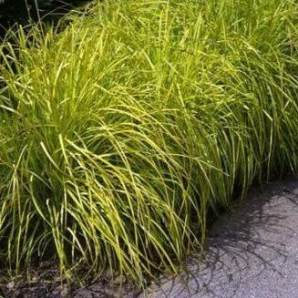Vrtnarstvo Breskvar - Carex dolichostachya Gold Fountains