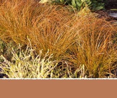 Vrtnarstvo Breskvar - Carex Flagellifera Auruga