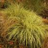 Vrtnarstvo Breskvar - Carex hachijoensis Evergold