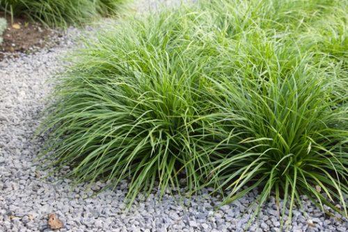 Vrtnarstvo Breskvar - Carex morrowii Variegata