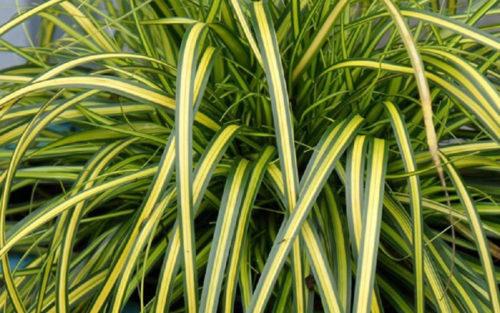 Vrtnarstvo Breskvar - Carex oshimensis Eversheen