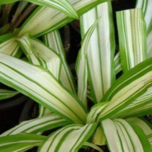 Vrtnarstvo Breskvar - Carex siderosticha Variegata