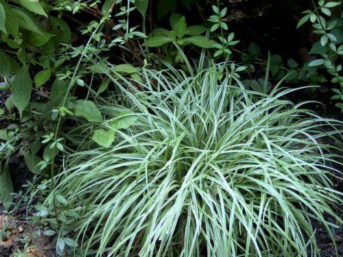 Vrtnarstvo Breskvar - Carex foliosissima Silver Scepters