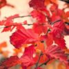 Vrtnarstvo Breskvar - Carpinus betulus Rockhampton Red Lochglow