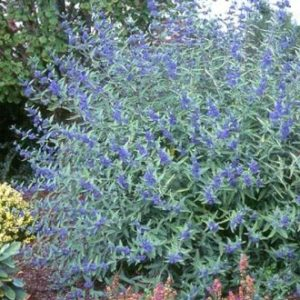 Vrtnarstvo Breskvar - Caryopteris clandonensis Heavenly Blue