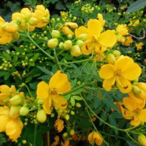 Vrtnarstvo Breskvar - Cassia floribunda