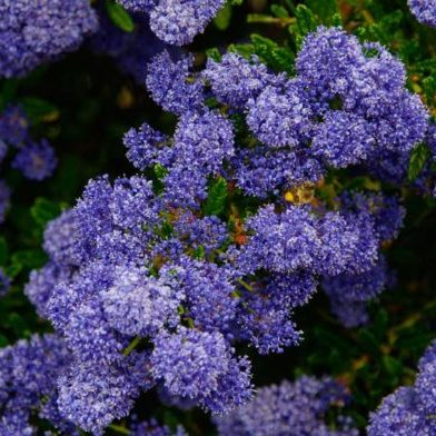 Vrtnarstvo Breskvar - Ceanothus Concha