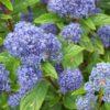 Vrtnarstvo Breskvar - Ceanothus delilianus Gloire de Versailles