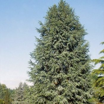 Vrtnarstvo Breskvar - Cedrus libani Fastigiata