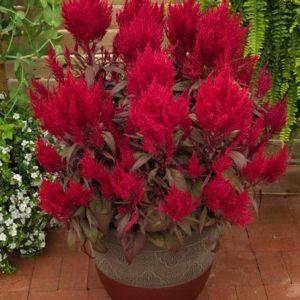 Vrtnarstvo Breskvar - Celosia argentea