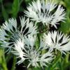 Vrtnarstvo Breskvar - Centaurea montana Alba