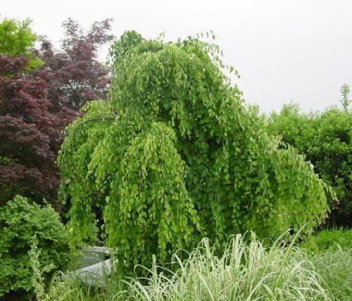 Cercidiphyllum Japonicum Pendulum