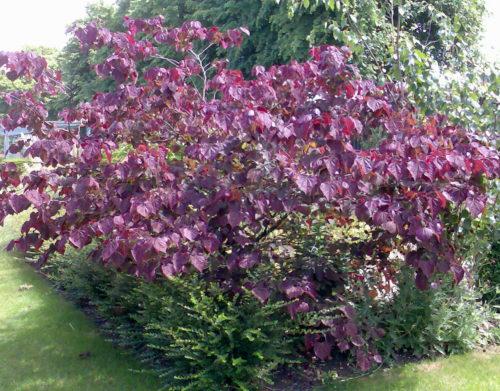 Vrtnarstvo Breskvar - Cercis Canadensis Forest Pansy