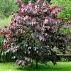 Cercis canadensis 'Forest Pansy' - Vrtnarstvo Breskvar
