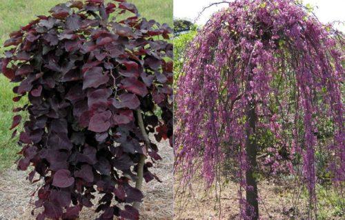 Vrtnarstvo Breskvar - Cercis Canadensis Ruby Falls