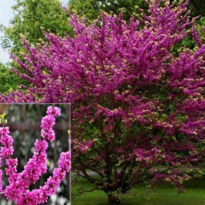 Vrtnarstvo Breskvar - Cercis siliquastrum