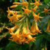 Vrtnarstvo Breskvar - Cestrum aurantiacum