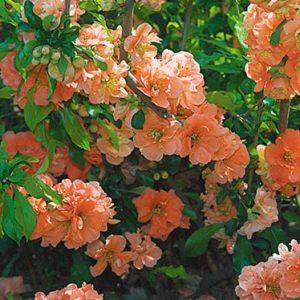 Vrtnarstvo Breskvar - Chaenomeles Cameo