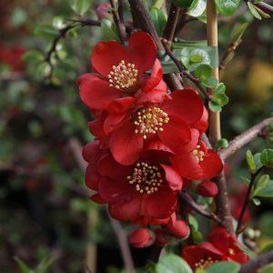 Vrtnarstvo Breskvar - Chaenomeles Elly Mossel