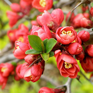 Chaenomeles Hollandia