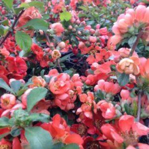 Vrtnarstvo Breskvar - Chaenomeles japonica Cido