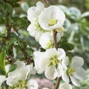 Vrtnarstvo Breskvar - Chaenomeles Jet Trail