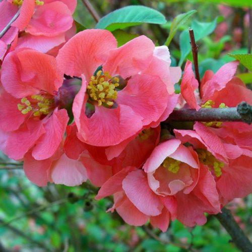 Vrtnarstvo Breskvar - Chaenomeles Pink Lady