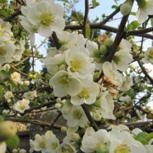 Vrtnarstvo Breskvar - Chaenomeles speciosa Nivalis
