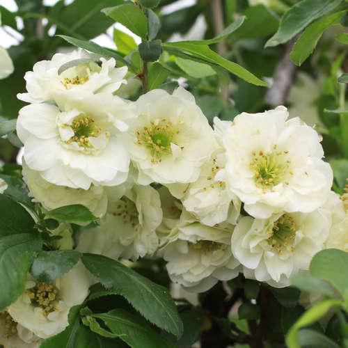 Vrtnarstvo Breskvar - Chaenomeles Yukigoten
