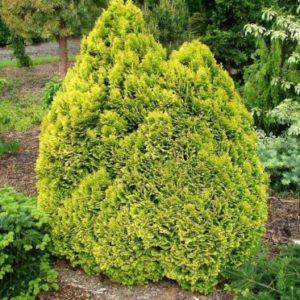 Vrtnarstvo Breskvar - Chamaecyparis lawsoniana Minima Aurea