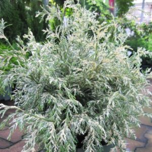 Vrtnarstvo Breskvar - Chamaecyparis lawsoniana Pearly Swirls