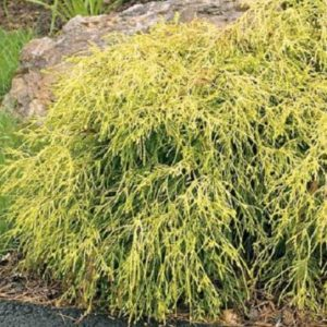 Vrtnarstvo Breskvar - Chamaecyparis pisifera Filifera Sungold
