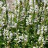 Vrtnarstvo Breskvar - Chelone obliqua Alba