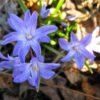 Vrtnarstvo Breskvar - Chionodoxa